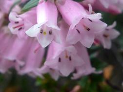 Wildflowers, Tasman Peninsula & Tarkine walks, ParkTrek, Tasmania, Australia
