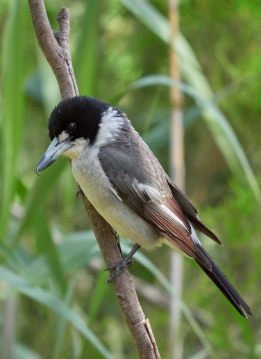 Sale butcherbird VIC 2018 P1025368 1
