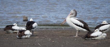 Sale pelicans VIC 2018 P1025419