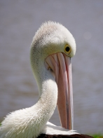 Sale pelicans VIC 2018 P1036170