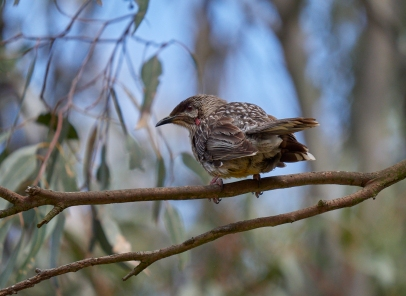 Sale red cheeked wattlebird VIC 2018 P1025670
