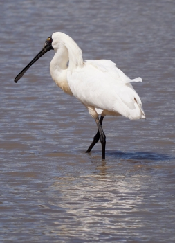 Sale spoonbill VIC 2018 P1025396