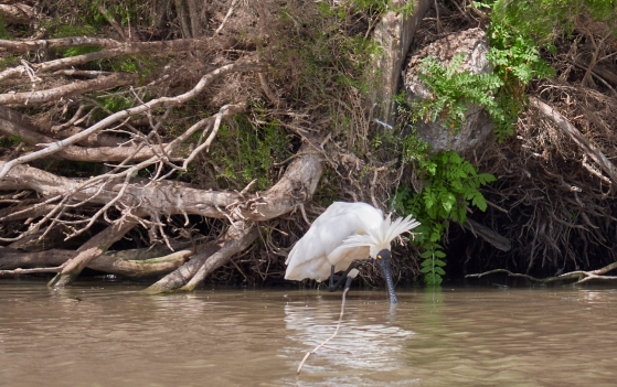 Sale spoonbill VIC 2018 P1025430