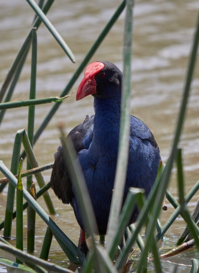 Sale swamphens VIC 2018 P1036065