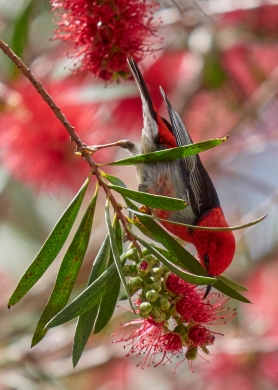 Sale Wetlands scarlet honeyeater 2018 P1035758